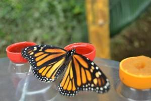 monasommerfugl oransje
