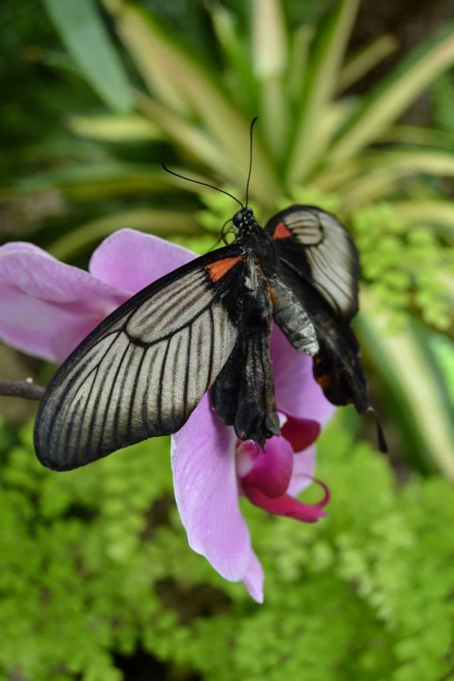 monasommerfugl grå svart