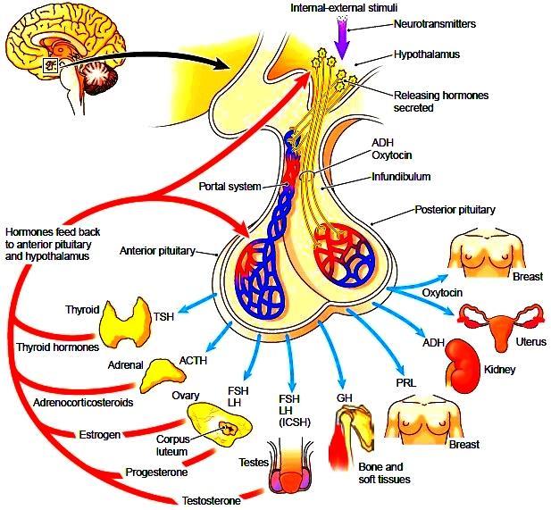 hypofysen1